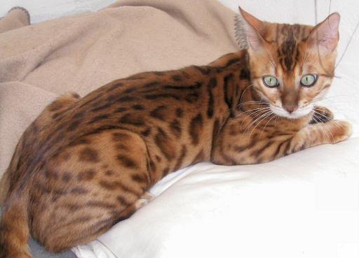 Not Asian domestic bangle cat
