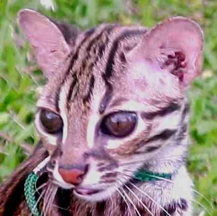 List of Wild Cats Leopard Cats Are Small Wild